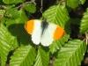 Кардаминова пеперуда